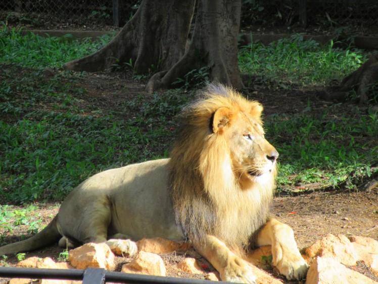 Simha (lion), Karnataka, Inde